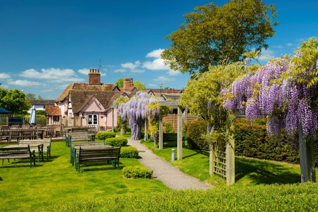 This picture shows an english pub garden with wisteria plants in full purple bloom