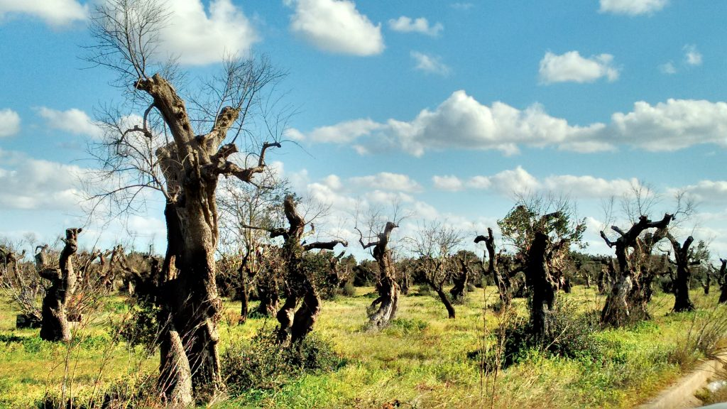 In southern Italy, millions of olive trees are dying. The culprits A microbe... and fake news. Credits: Giorgia Guglielmi